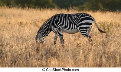 Cape Mountain Zebra (Equus zebra) in late afternoon light,...