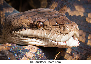 Close-up of python snake - Close-up shot of a Carpet python,...
