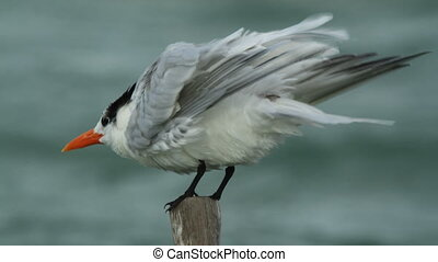 a caspian tern bird in ria largartos, mexico