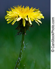 Dandelion Macro - An isolated dandelion over a green...