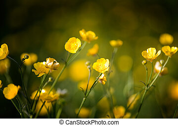 Buttercup flower background - a yellow wildflower