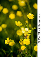 Buttercup Flower - A yellow flower background of buttercup -...