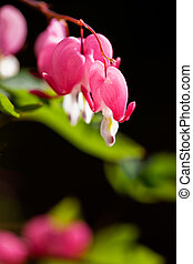 Bleeding Heart flower macro