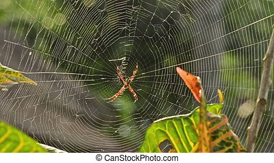 Argiope spider in afternoon sun in Bali, Indonesia