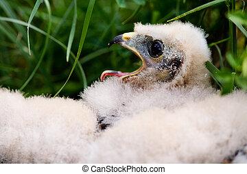 Prairie Falcon Chick - Prairie Falcon chick Falco mexicanus...