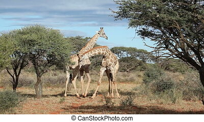 Fighting giraffes - Two giraffe bulls (Giraffa...