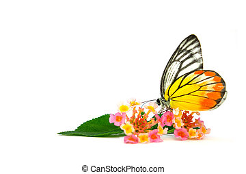 Butterfly Beautiful flower Lantana camara isolated on white...