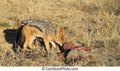 Scavenging black-backed Jackals - Black-backed Jackals Canis...