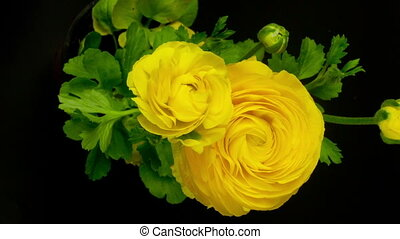 timelapse of a yellow ranunculus asiaticus (persian...