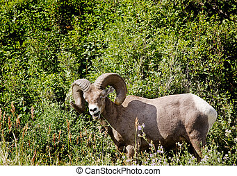 Bighorn Sheep - A wild bighorn sheep in Alberta, Canada ovis...