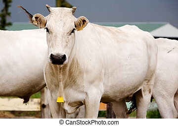 White Cow - A white Chianina cow looking at the camera