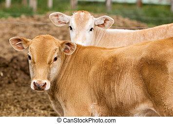 Calf - A small brown Chianina calf looking at the camera