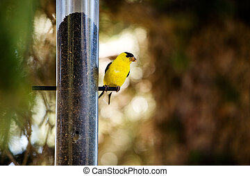 Gold Finch - A yellow male gold finch at a bird feader