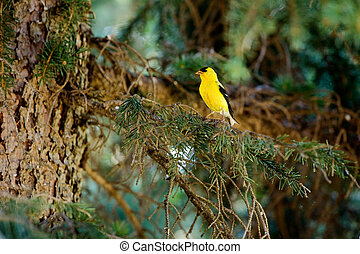 Gold Finch - A gold finch in the forest sitting on a tree