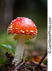 Magic Mushroom - A red and white mush - Fly Amanita...