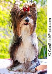 vector pedigreed dog Biewer Yorkshire terrier - Biewer...
