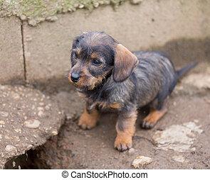 Small brown dachshund closeup - Closeup of baby Dachshund,...