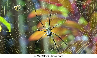 Nephila edulis or Golden Orb spider in Bali. About 10cm long