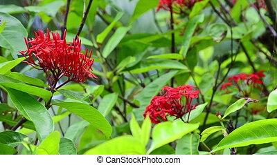 Ixora coccinea (Scarlet jungleflame) in wind