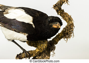 Cloes up of a taxidermy magpie