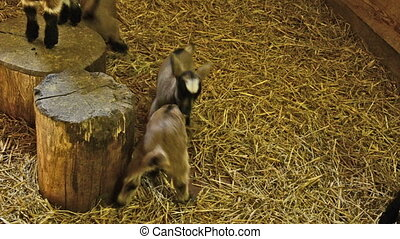 young goats playing together in stable