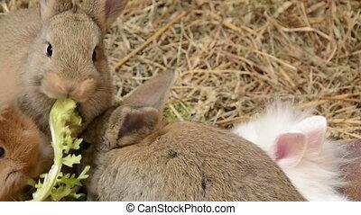 Baby rabbits nibbling on salad