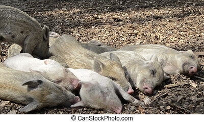 sleeping young piglets - wild boar