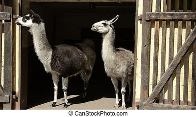 two Llama in door of the stable