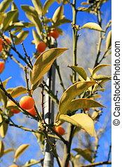 Kumquats - Kumquat tree with ripe kumquats and leaves.