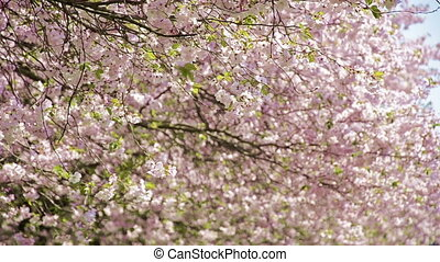 japanese cherry trees blooming - japanese cherry trees -...