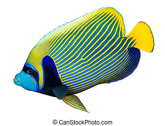 Emperor angelfish Pomacanthus imperator isolated on white...