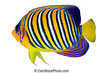 Royal angelfish (Pygoplites diacanthus) isolated on white...