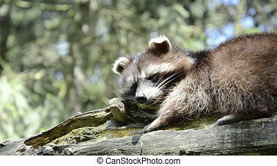 Raccoon lying lazy on tree and scratching
