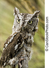Western Screech Owl - Close up of western screech owl in...