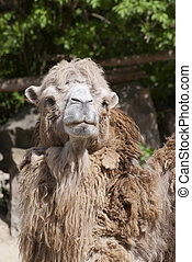 Bactrian camel looking into the camera