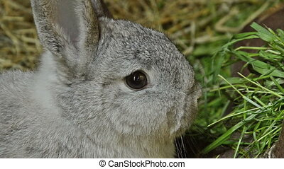 chinchilla rabbit nibbling on grass