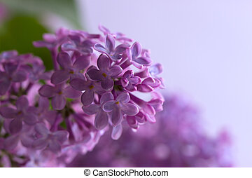 branch of a lilac - branch of a purple lilac