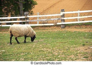 sheep, csinos