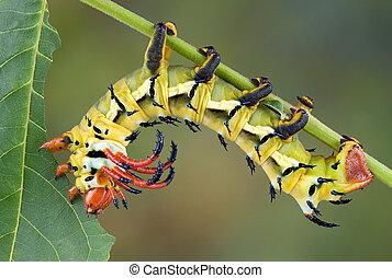 Moth caterpillar eating walnut leaf - A hickory horned devil...