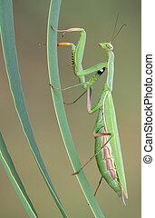 Praying mantis climbing - A praying mantis is climbing some...