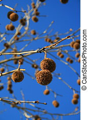 Tree Seed Pods - Tree seed pods on leaves over blue sky.