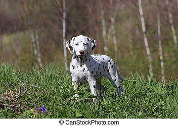 Dalmatian puppy dog on the green grass
