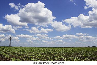 soya bean field - young soya bean field in spring time