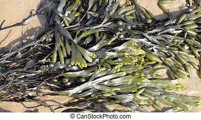 Seaweed - seaweed