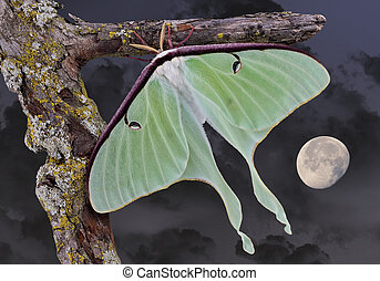 Luna moth in moonlight - A Luna moth is shown sitting on a...