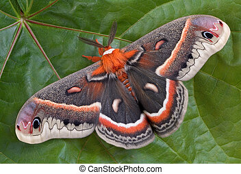 Cecropia moth on large leaf - A cecropia moth is sitting on...