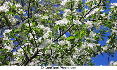 Blossom apple tree branches
