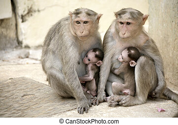 Monkey Macaca Family in South India - Monkey Macaca Family...