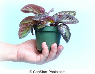 planta, pote