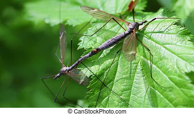 common crane fly - pairing - common crane fly - Tipula...